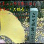 国の天然記念物に指定されている「大銀杏」で有名な山口県山口市吉敷にある「龍蔵寺」を訪ねてきました!