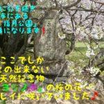 今回も前回に引き続き山口県萩市にある「萩城跡 指月公園」を訪ねた日の記事になります。山口県の天然記念物にもなっている日本でここにしかない1本の「ミドリヨシノ」の桜が今年も見事に咲いていました!「桜の名所」だけあって500本余りある「ソメイヨシノ」も圧巻ですよ♪ぜひ読んでみて下さい!