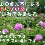 今回は山口県光市にある「あじさい苑」を訪れて記事にしてみました!この場所30種類のあじさいが咲いてその数は約15000株…これは山口県内でも数としてはトップクラスなんだそうです。ぜひ読んでみて下さい!
